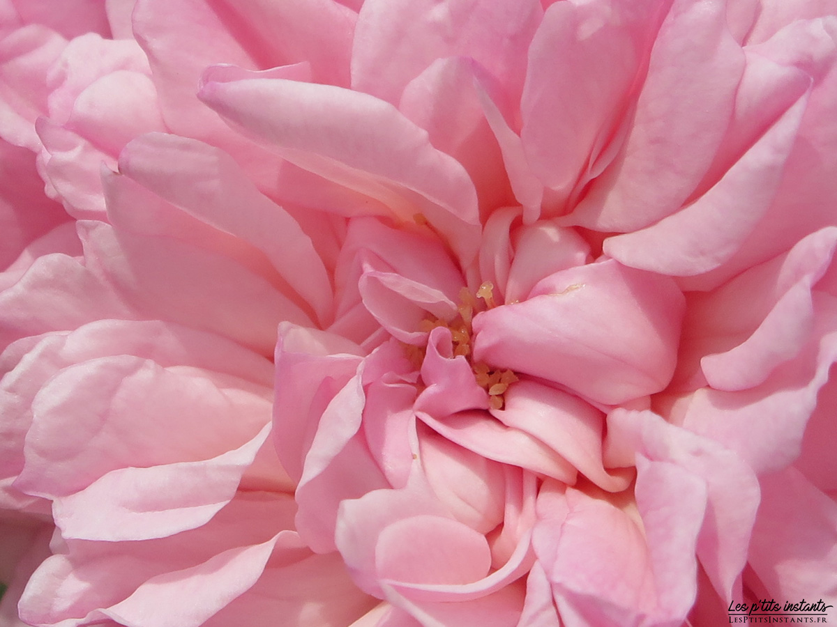 Roseraie de L'Haÿ-les-Roses (Val-de-Marne)