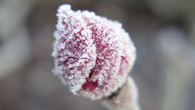 Givre sur un bouton de rose