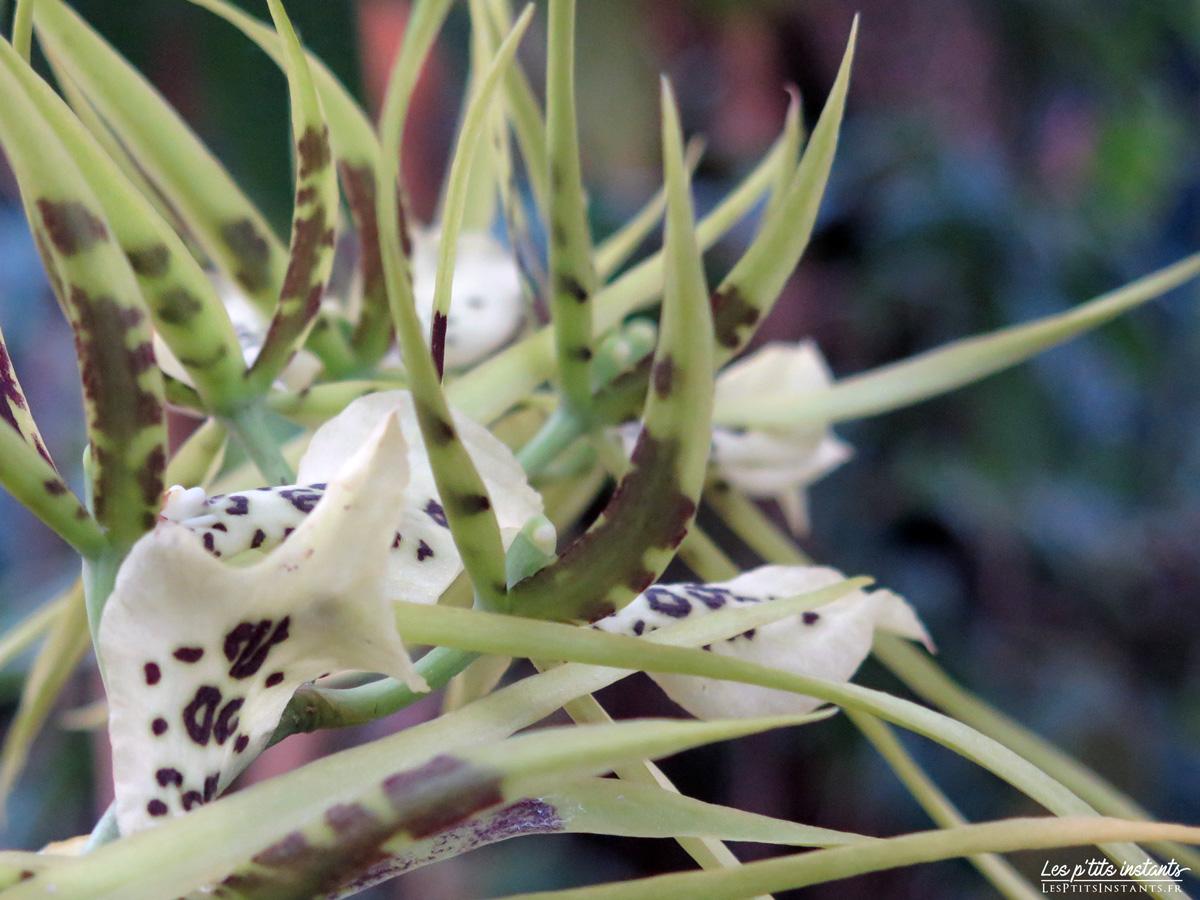 """Orchidée-araignée - Exposition """"Mille & une orchidées"""", Grandes Serres du Jardin des Plantes, Paris 5"""