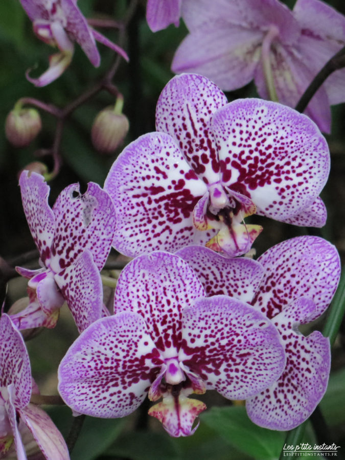 """Orchidée-papillon - Exposition """"Mille & une orchidées"""", Grandes Serres du Jardin des Plantes, Paris 5"""