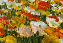 Pavots multicolores du Jardin des Plantes