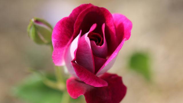 Roses Burgundy Ice