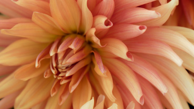 Dahlia, fleur d'autome